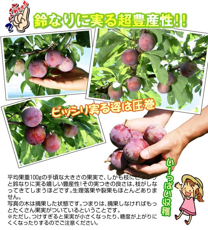 豊産性スモモ 苗木 いくみ