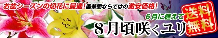 8月咲ユリ