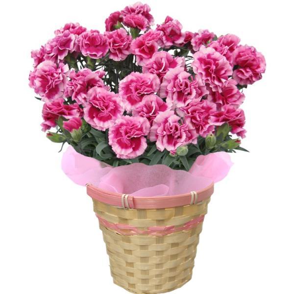 母の日 カーネーション 選べる15色 5号鉢 鉢 花 ギフト プレゼント 贈り物 メッセージカード付き ラッピング ギフトボックス カゴ付き 2019|kokkaen|11