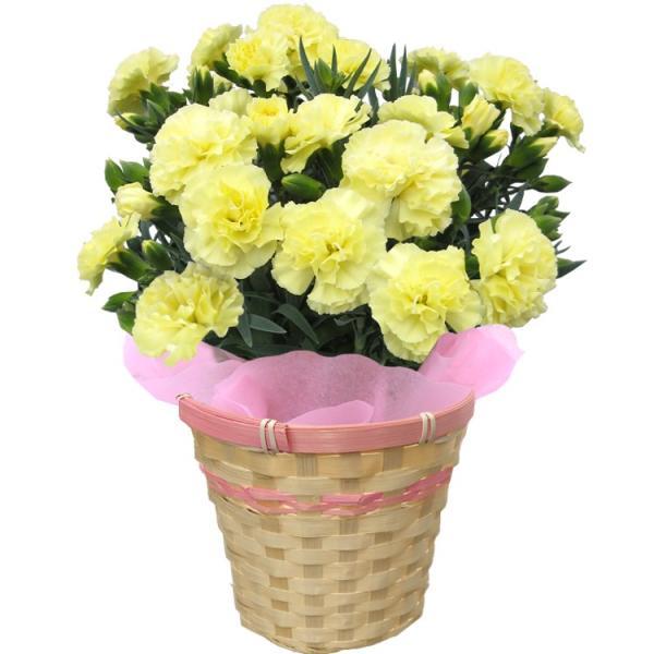 母の日 カーネーション 選べる15色 5号鉢 鉢 花 ギフト プレゼント 贈り物 メッセージカード付き ラッピング ギフトボックス カゴ付き 2019|kokkaen|12