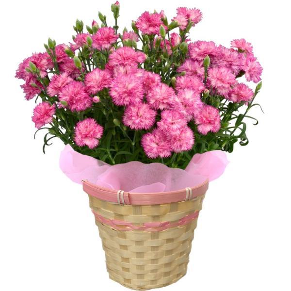 母の日 カーネーション 選べる15色 5号鉢 鉢 花 ギフト プレゼント 贈り物 メッセージカード付き ラッピング ギフトボックス カゴ付き 2019|kokkaen|15