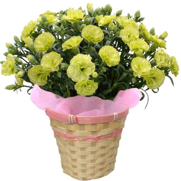 母の日 カーネーション 選べる15色 5号鉢 鉢 花 ギフト プレゼント 贈り物 メッセージカード付き ラッピング ギフトボックス カゴ付き 2019|kokkaen|17