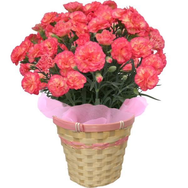 母の日 カーネーション 選べる15色 5号鉢 鉢 花 ギフト プレゼント 贈り物 メッセージカード付き ラッピング ギフトボックス カゴ付き 2019|kokkaen|18