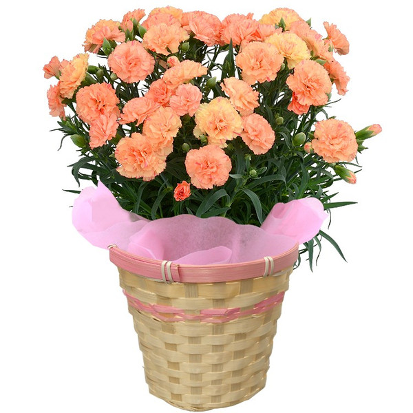 母の日 カーネーション 選べる15色 5号鉢 鉢 花 ギフト プレゼント 贈り物 メッセージカード付き ラッピング ギフトボックス カゴ付き 2019|kokkaen|23