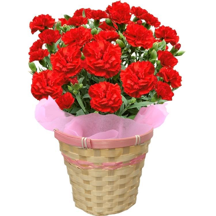 母の日 2021 ギフト 花 カーネーション 5号鉢 鉢 プレゼント 贈り物 メッセージカード付き ギフトボックス カゴ付き 国華園|kokkaen|16