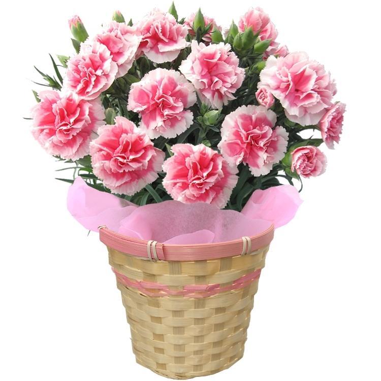 母の日 2021 ギフト 花 カーネーション 5号鉢 鉢 プレゼント 贈り物 メッセージカード付き ギフトボックス カゴ付き 国華園|kokkaen|18