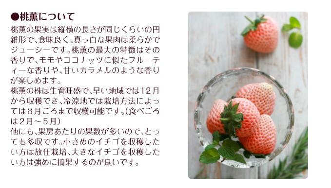 イチゴ苗 桃薫