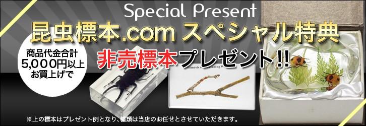 昆虫樹脂標本プレゼント