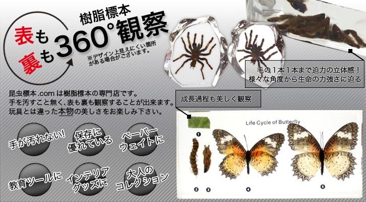 昆虫樹脂標本専門店 昆虫標本.com