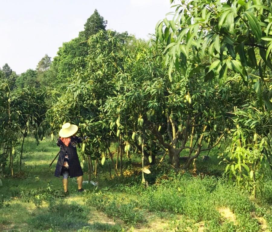 タイマンゴー農家さん