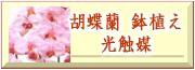 光触媒の胡蝶蘭、花と樹&造花の