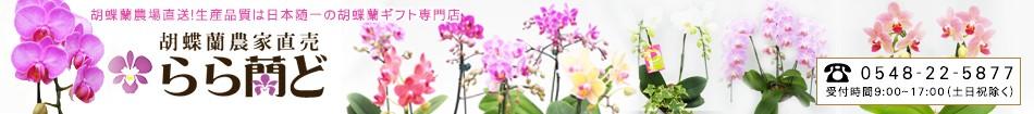 胡蝶蘭生産農家直売 高品質な胡蝶蘭