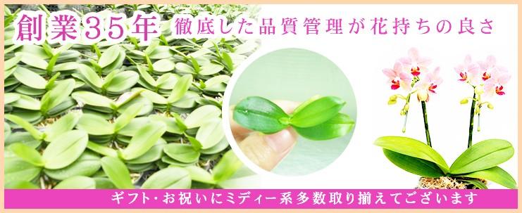 ギフト胡蝶蘭、お祝い胡蝶蘭、新築祝い胡蝶蘭なら静岡県最大級の胡蝶蘭農場直売らら蘭土