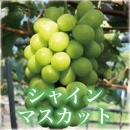 岡山産のシャインマスカット