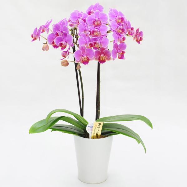 父の日『選べるミディ胡蝶蘭』花鉢 送料無料 豪華 コチョウラン 花 ギフト プレゼント|marika|13