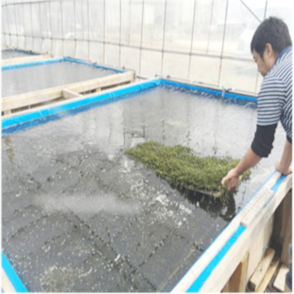 海ぶどう栽培工程