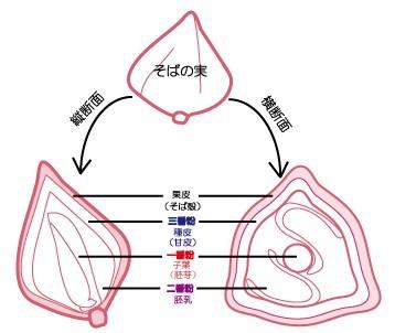 蕎麦の実模式図