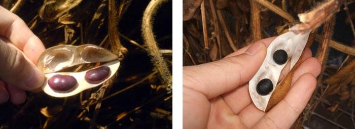 岩手県遠野の大自然の恵みをいっぱいに浴びて育った黒大豆