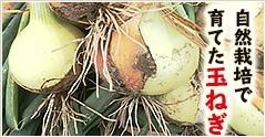 自然栽培で育てた玉ねぎ