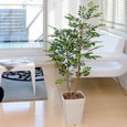 光触媒観葉植物 トネリコ1.2m