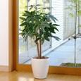 光触媒観葉植物 パキラ90cm