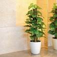 光触媒観葉植物 フレッシュポールポトス width=