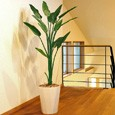 光触媒人工観葉植物(インテリアグリーン)ストレチア1.6m