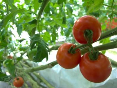 かずさトマトガーデン「ぜいたくトマト」