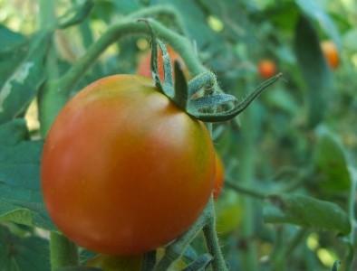 鈴木メロン園「フルーツトマト」