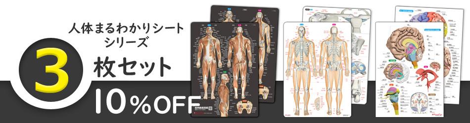 人体まるわかりシート3枚セット 筋肉シート 骨と関節シート 脳シート