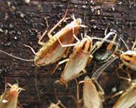 ゴキブリ駆除 殺虫剤