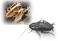 ゴキブリ対駆除用殺虫剤・資材