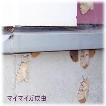 壁面のマイマイガ成虫駆除