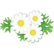 シロバナムシヨケギク 除虫菊