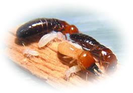 シロアリ駆除殺虫剤