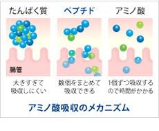 アミノ酸吸収のメカニズム