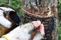 漆掻き:溝に貯まった樹液を収集しているところ