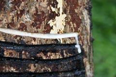 漆の木に溝を掘り込むと白い樹液が染み出す