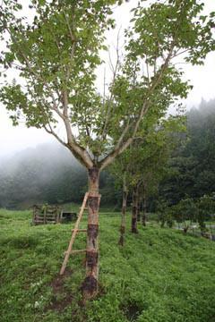 漆の木(丹波)