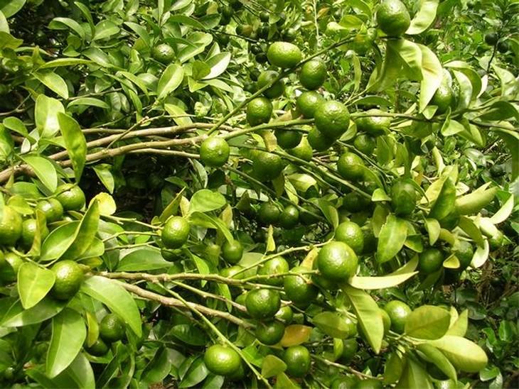 シークワーサー果樹園