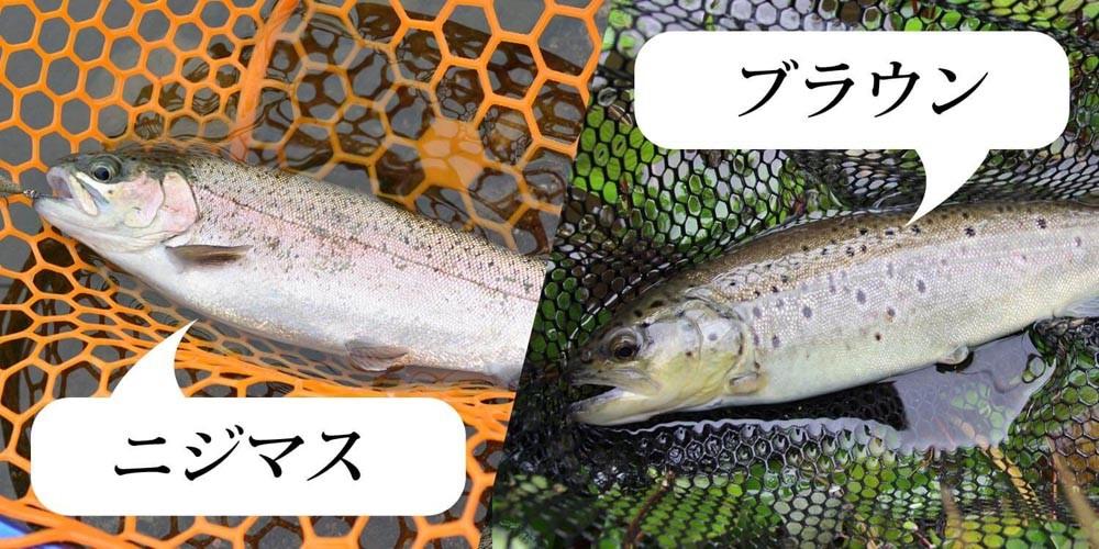 釣れる魚はニジマス、ブラウントラウトが主?