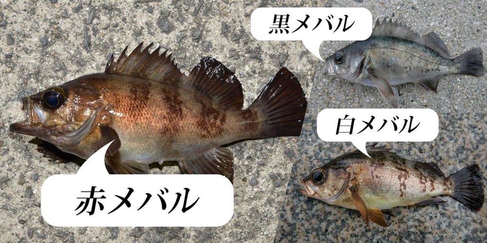 メバルってどんな魚?