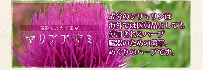 臓器のための薬草 マリアアザミ 成分のシリマリンは海外では医薬品としても使用されるハーブ 臓器のための薬草、めぐりのハーブです。