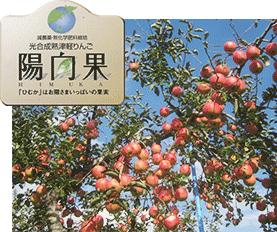 光合成熟りんご「陽向果(ひむか)」