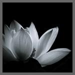 凛として透明感ある花「蓮」