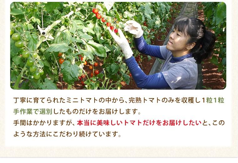 1粒ずつ手作業で選別!こだわりの完熟トマトをお届けします。