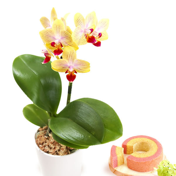 敬老の日 プレゼント 花 選べる胡蝶蘭 鉢植え 敬老の日ギフト スイーツ|oimoya|15