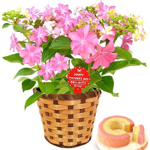 母の日 ギフト 花 母の日 プレゼント 花とスイーツ 2020 ギフトランキング 紫陽花 アジサイ バラ 鉢植え お菓子|oimoya|16
