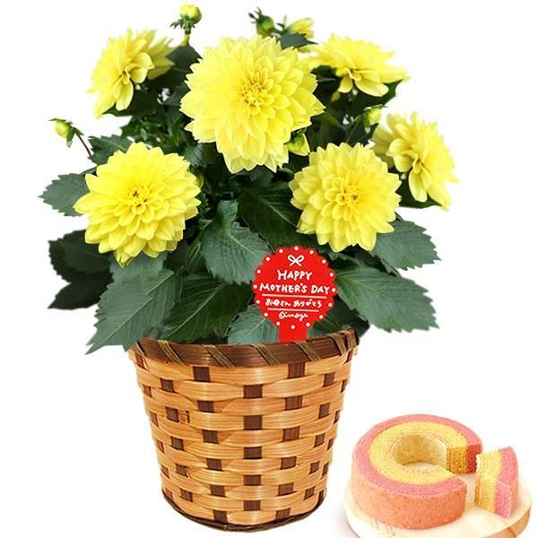 母の日 ギフト 花 母の日 プレゼント 花とスイーツ 2020 ギフトランキング 紫陽花 アジサイ バラ 鉢植え お菓子|oimoya|22