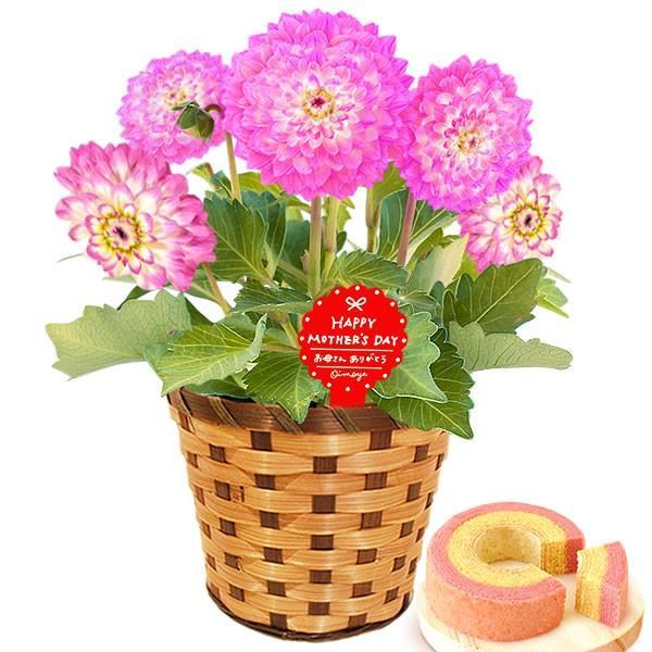 母の日 ギフト 花 母の日 プレゼント 花とスイーツ 2020 ギフトランキング 紫陽花 アジサイ バラ 鉢植え お菓子|oimoya|20